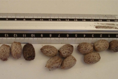 Adonidia-palm-seeds