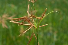 Adrue-plant