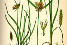 Illustration-of-Adrue-plant