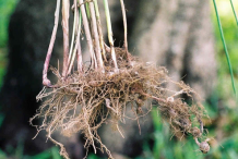 Root-of-Adrue-plant