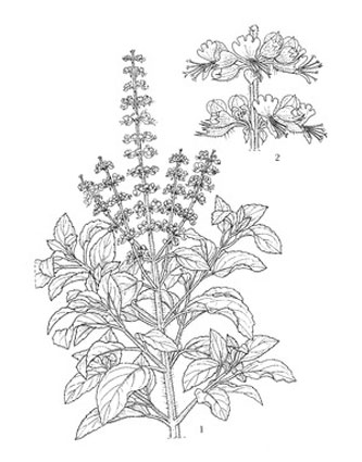 Plant-Illustration-of-African-basil