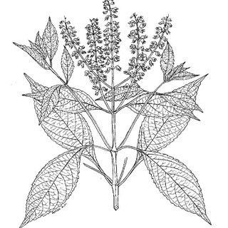 Sketch-of-African-basil