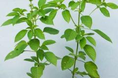 African-basil-Plant