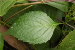 Leaves-of-African-basil