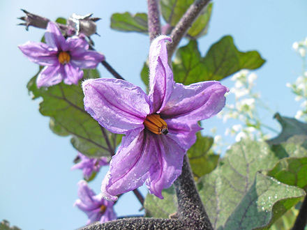 Flower-of-African-Eggplant