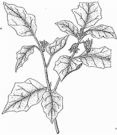 Sketch-of-African-Eggplant