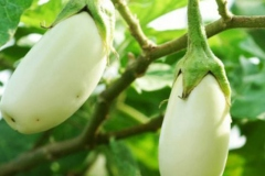 African-Eggplant-on-the-plant