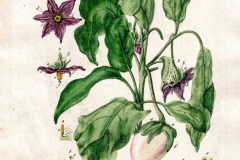 Plant-Illustration-of-African-Eggplant