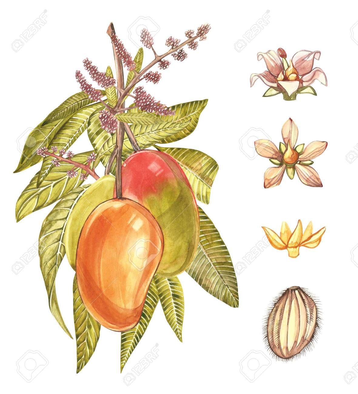 Plant-illustration-of-African-Mango