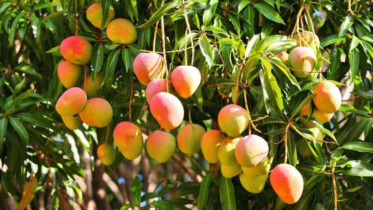 Ripe-African-Mango-on-the-tree