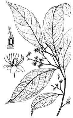 Sketch-of-African-Mango