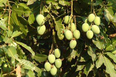 Unripe-African-Mango-on-the-tree
