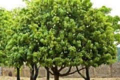 African-Mango-plant