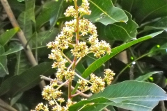 Flowers-of-African-Mango