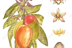 Plant-illustration-of-African-Mango