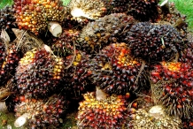 African-oil-palm-fruit