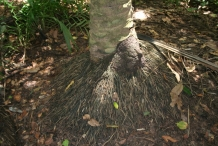 African-oil-palm-roots