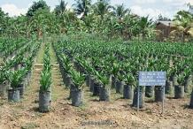 African-oil-palm-seedlings