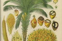 Plant-illustration-of-African-oil-palm