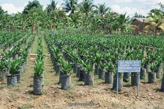 African-oil-palm-seedlings