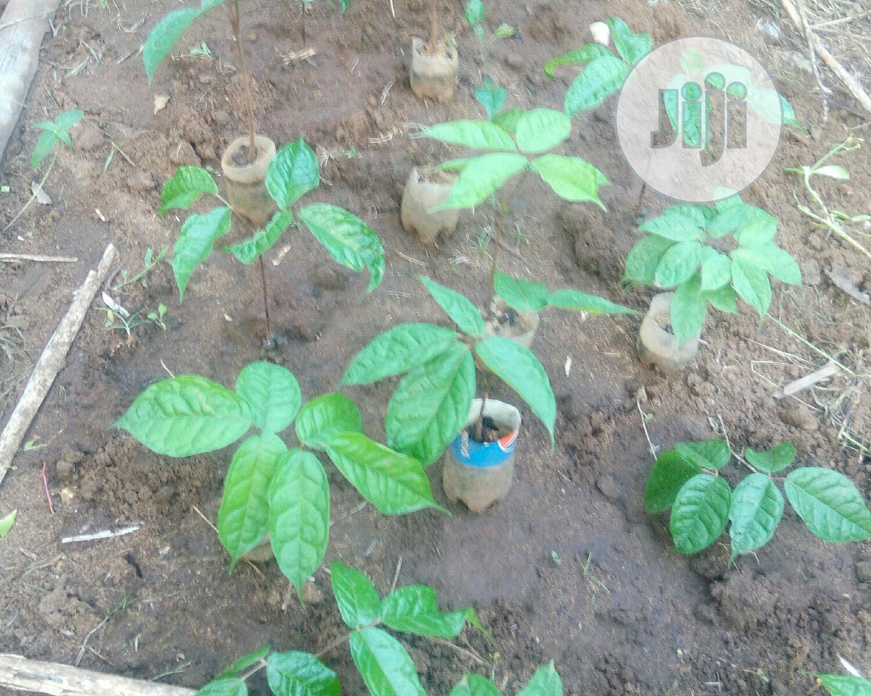 African-pear-sapling