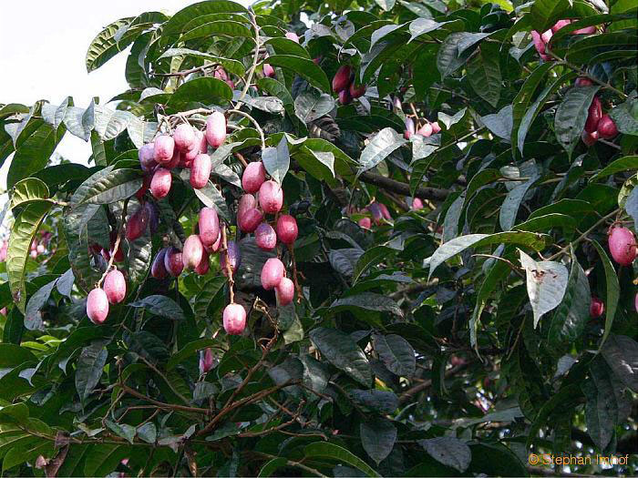 African-pear-tree