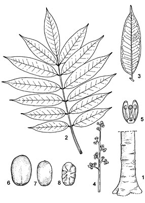 Plant-Illustration-of-African-pear