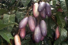 African-pear-Fruits-on-the-tree