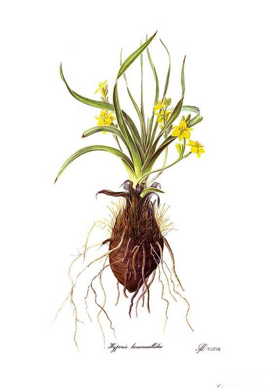 Illustration-of-African-potato-plant