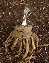 Tuber-of-African_potato