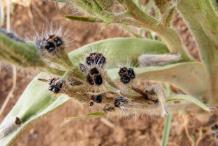 Ripe-fruit-exposing-seeds
