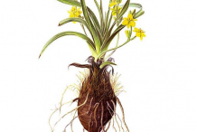 Illustration-of-African-potato-plant