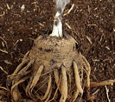 Tuber-of-African_potato