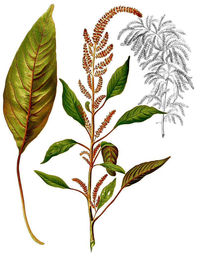 Plant-illustration-of-African-spinach