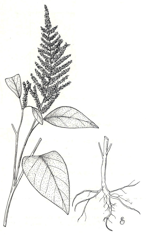 Sketch-of-African-spinach