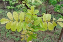 African-Tuliptree-leaves