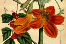 Illustration-of-African-Tuliptree