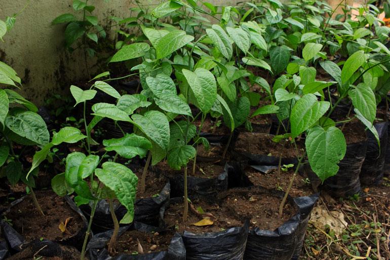 African-walnut-seedling