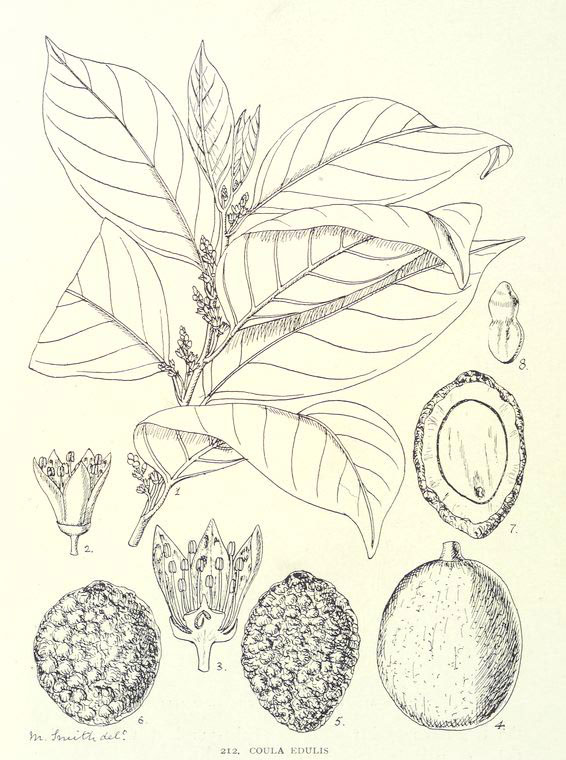 Plant-Illustration-of-African-walnut