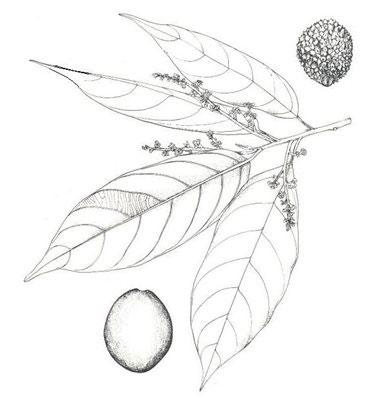 Sketch-of-African-walnut
