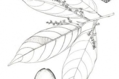 Sketch-of-African-walnut