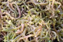 Agar-sea-weed