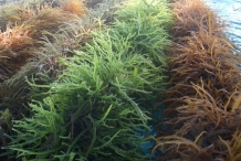 Agar-seaweed