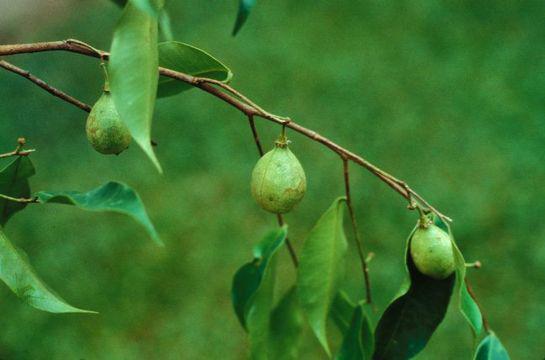 Agar-Wood--Indian-Aloewood