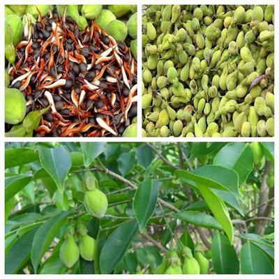 Agar-Wood--Malayan-Eaglewood-Tree