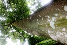 Agar-wood--Aloewood