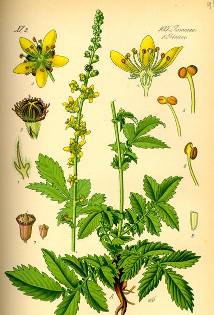 Agrimony-Plant-Illustration