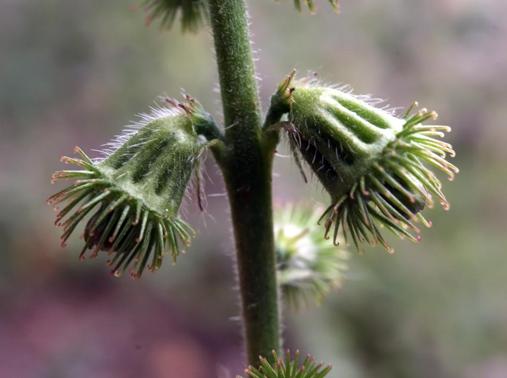 Fruit-of-Agrimony-plant