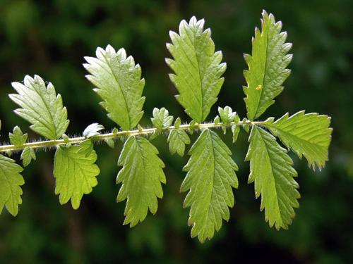 Leaf-of-Agrimony-plant