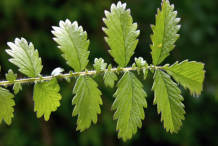 Leaf-of-Agrimony-plant